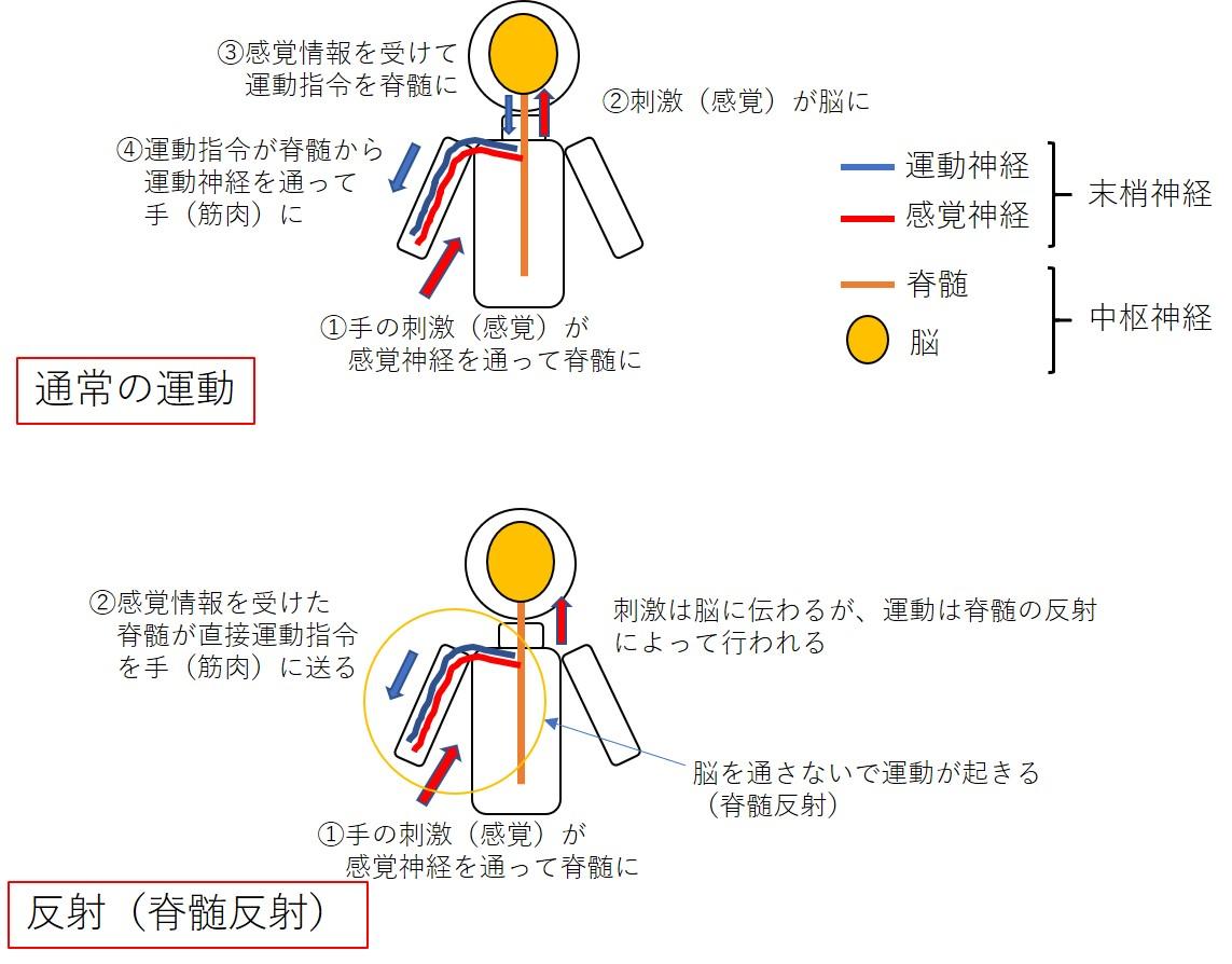 反射(脊髄反射)のイメージ図