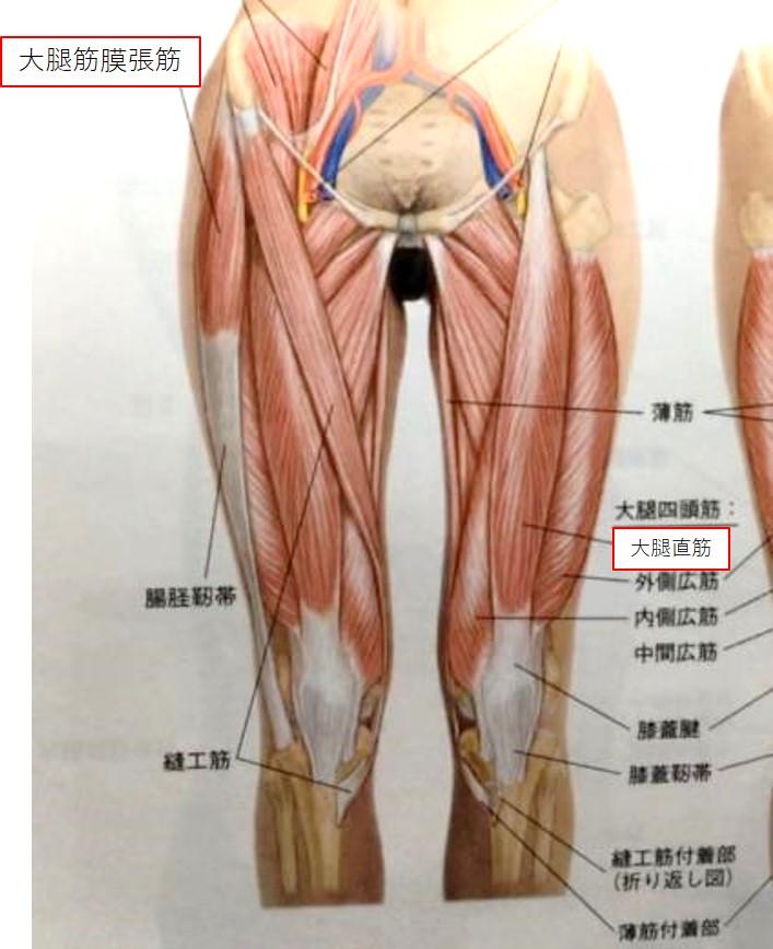 大腿直筋と大腿筋膜張筋(足を前から見た図)