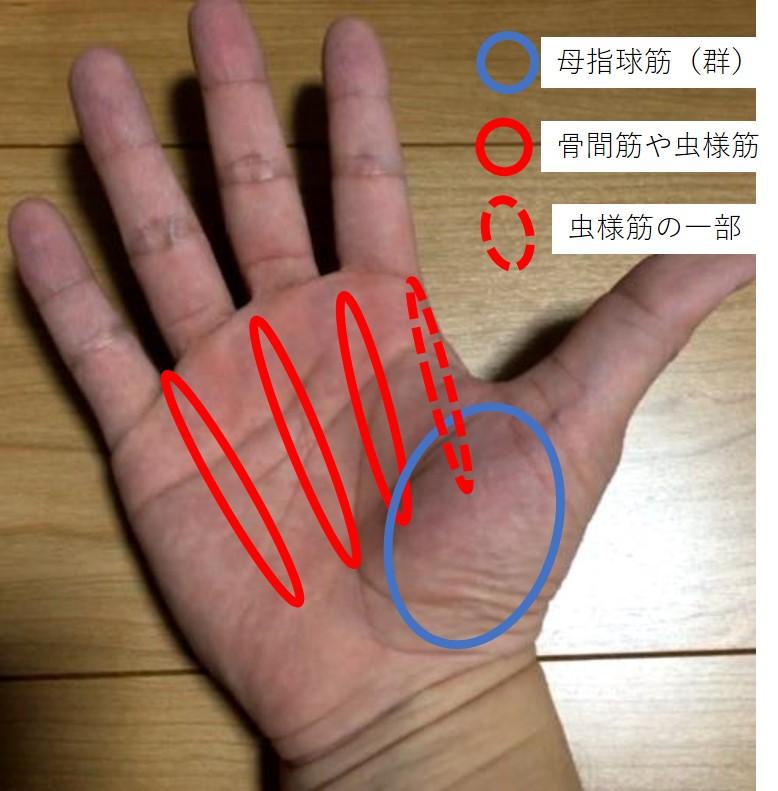 握力につかう手内在筋の位置