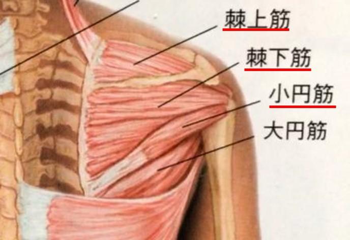 腱板(外旋筋)